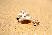 Sea Shell Prints -  Whelk Sea Shell Print by Cheryl Young