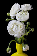 Fragile Posters -   White ranunculus in yellow vase Poster by Garry Gay