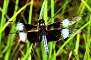 Dragonfly Photo Originals -  Widow Skimmer Dragonfly by Alan Lenk