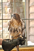 Red Tail Hawk Photo Posters -  Wild Center Red Tail Hawk - Adk - A Poster by Wayne Sheeler