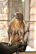 Red Tail Hawk Photo Posters -  Wild Center Red Tail Hawk - Adk - B Poster by Wayne Sheeler