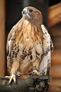 Red Tail Hawk Photo Posters -  Wild Center Red Tail Hawk - Adk - C Poster by Wayne Sheeler