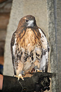 Red Tail Hawk Photo Posters -  Wild Center Red Tail Hawk - Adk - D Poster by Wayne Sheeler