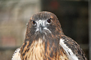 Red Tail Hawk Photo Photos -  Wild Center Red Tail Hawk - Adk - E by Wayne Sheeler