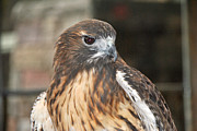 Red Tail Hawk Photo Posters -  Wild Center Red Tail Hawk - Adk - F Poster by Wayne Sheeler
