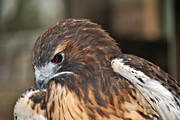 Red Tail Hawk Photo Posters -  Wild Center Red Tail Hawk - Adk - G Poster by Wayne Sheeler