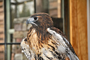 Red Tail Hawk Photo Posters -  Wild Center Red Tail Hawk - Adk - H Poster by Wayne Sheeler
