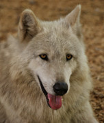 Timber Wolf Photos -  Wolf  by Sandy Keeton