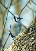 Bluejay Metal Prints - 021910-167 Metal Print by Mike Davis - Micks Pix Photos
