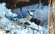 Bluejay Metal Prints - 021910-173 Metal Print by Mike Davis - Micks Pix Photos