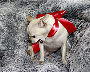 Chihuahua Portraits Prints - 09100071 Print by Theresa Baker