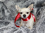 Chihuahua Portraits Prints - 09100075 Print by Theresa Baker