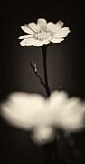 Dark Daisy  Print by Stylianos Kleanthous