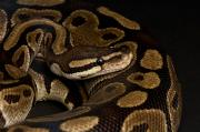 Sunset Zoo Framed Prints - A Ball Python Python Regius Framed Print by Joel Sartore
