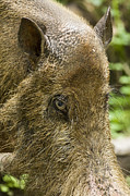 Danum Valley Conservation Area Prints - A Bearded Pig Sus Barbatus Print by Tim Laman
