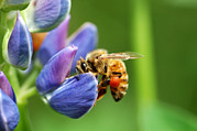 Baskets Photos - A Bee Visiting A Lupine Lupinus Flower by Darlyne A. Murawski