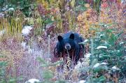 Black Bear Photos - A Black Bear Looks Out Of A Forest by Taylor S. Kennedy
