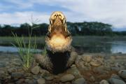 Frightening Posters - A Black Caiman Opens Its Mouth Wide Poster by Joel Sartore