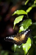Brown Clipper Prints - A Butterfly Perches On A Leaf Print by Taylor S. Kennedy