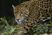 Jaguars Prints - A Close View Of A Captive Jaguar Print by Tim Laman