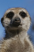 Republic Of South Africa Prints - A Close View Of A Meerkat Suricata Print by Mattias Klum
