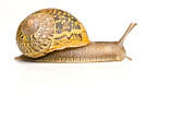 Helix Posters - A Common Garden Snail Moves Poster by Brooke Whatnall
