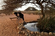 Ostrich Photos - A Cool Drink in the Hot African Sun by Terry  Stokely