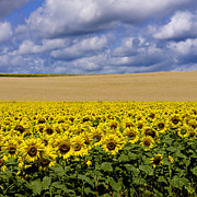 Alster Framed Prints - A field of Sunflowers . Auvergne. France Framed Print by Bernard Jaubert