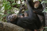 Senegal Prints - A First-time Mother Chimpanzee Reclines Print by Frans Lanting