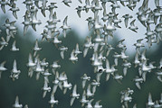 Strength In Numbers Posters - A Flock Of Western Sandpipers In Flight Poster by Joel Sartore