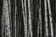 Tree Trunks Metal Prints - A Forest Of White Birch Trees Betula Metal Print by Medford Taylor