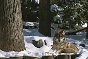 Snow Scenes Prints - A gray wolf on a sunny Print by Taylor S. Kennedy