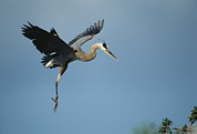Ardea Posters - A Great Blue Heron In Flight Poster by Klaus Nigge