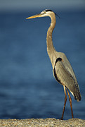 Ardea Posters - A Great Blue Heron Walks In The Sand Poster by Klaus Nigge