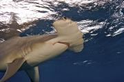 Hammerhead Posters - A Great Hammerhead Shark Swimming Poster by Brian J. Skerry