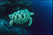 Republic Prints - A Green Sea Turtle Swimming Over A Reef Print by Tim Laman