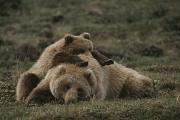 Animals Sleeping Posters - A Grizzly Mother And Her Cub Lounge Poster by Michael S. Quinton
