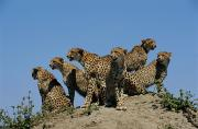 Endangered Cheetahs Art - A Group Of African Cheetahs Acinonyx by Chris Johns