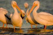 White Pelicans Framed Prints - A Group Of American White Pelicans Framed Print by Tim Laman
