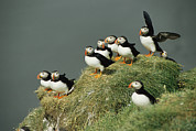 Arctica Posters - A Group Of Atlantic Puffins Perch Poster by Sisse Brimberg