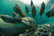 Spawning Prints - A Group Of Atlantic Salmon Swimming Print by Paul Nicklen