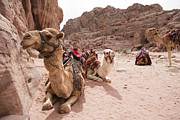 Camel Photos - A Group Of Camels Sit Patiently by Taylor S. Kennedy