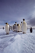 Antarctic Ocean Prints - A Group Of Emperor Penguins Print by Bill Curtsinger