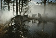 Sawtooth Mountains Metal Prints - A Group Of Gray Wolves, Canis Lupus Metal Print by Jim And Jamie Dutcher