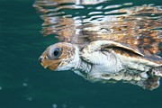 Sea Turtles Framed Prints - A Juvenile Endangered Loggerhead Turtle Framed Print by Brian J. Skerry