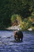 Kodiak Island Prints - A Kodiak Brown Bear Ursus Middendorfii Print by George F. Mobley