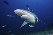 Lagoon Prints - A Large Silvertip Shark, Fiji Print by Terry Moore