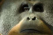 Orangutan Photos - A Male Orangutan At The Sedgwick County by Joel Sartore