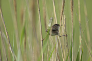 Money Prints - A Marsh Wren Singing In Beach Grasses Print by Joel Sartore