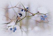 Chickadee Framed Prints - A Moments Repose Framed Print by Ron Jones